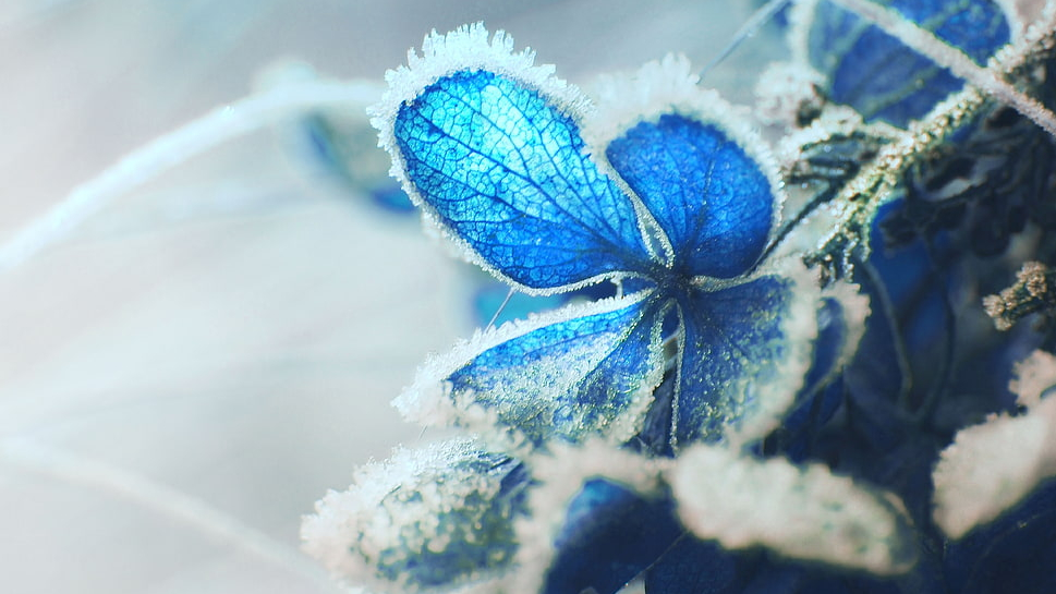 hydrangea-frost-snow-macro-wallpaper-preview